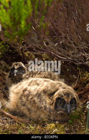 Sumpfohreule, Asio Flammeus, Küken / jung, im Heidekraut Moorland Nest - Stockfoto