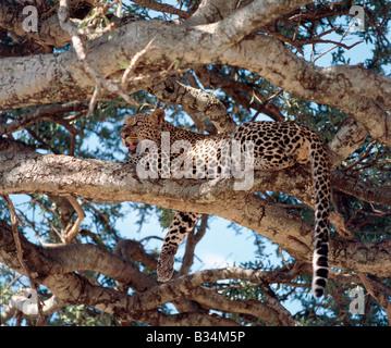 Kenia, Narok District, Masai Mara. Ein männlicher Leopard ruht auf einem Baum in Masai Mara Wildreservat. - Stockfoto