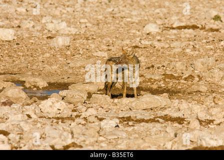 Schwarz unterstützt Schakal [Canis Mesomelas] RSS-Feeds auf den Resten einer weiblichen Springbock am Gemsbokvlakte - Stockfoto