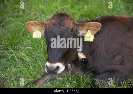 Kuh mit ID-Tags. - Stockfoto