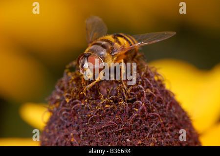 Eine kleine Biene, rieb seine Vorderbeine zusammen, sieht man eine gelbe Blume bestäuben. - Stockfoto