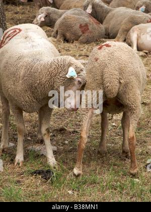 Schafe spielen und Weiden, in Wäldern, Montauroux, Var, Frankreich - Stockfoto
