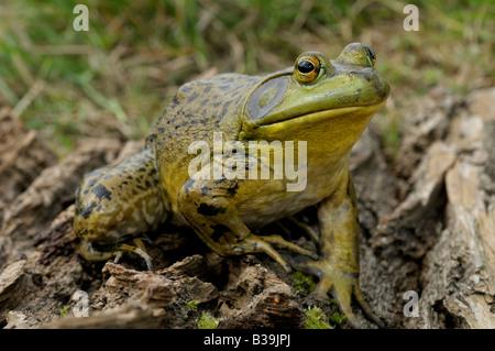 Amerikanischer Ochsenfrosch (Rana Catesbeiana, Lithobates Catesbeianus), Männlich - Stockfoto