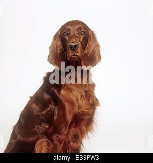 Irish Red Setter - Porträt - Stockfoto