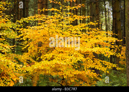 Herbstfärbung bei Macclesfield Wald in der Nähe von Macclesfield in Cheshire - Stockfoto