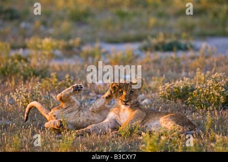 Afrika, Botswana, Löwenbabys (Panthera Leo) - Stockfoto