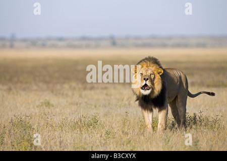 Afrika, Botswana, erwachsenen männlichen Löwen (Panthera Leo) brüllen Stockfoto