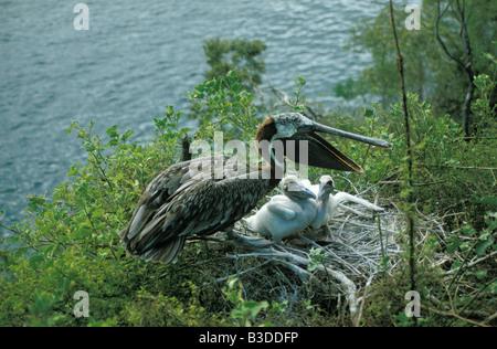 Erwachsenen braune Pelikan Pelecanus Occidentalis im Nest mit zwei Küken auf Bartolome Insel der Galapagos Insel - Stockfoto