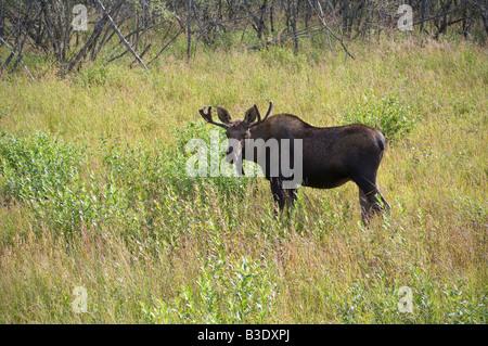 Ein jungen Elchbullen ernährt sich von Vegetation entlang einer Autobahn in der Nähe von Wasilla, Alaska - Stockfoto