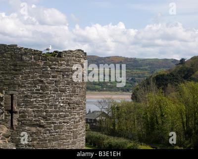 Silbermöwe auf der Stadtmauer von Conwy nahe der Burg mit der Mündung des Flusses Conway hinter Conwy, Nordwales - Stockfoto