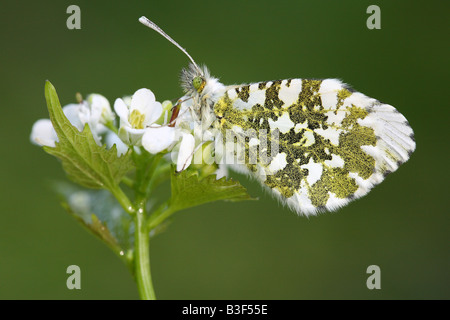 Orange Tipp - sitzen auf Blume / Anthocharis Cardamines - Stockfoto