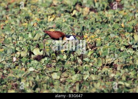 Vogel, Actophilornis Africana, Blatthühnchen, Maasai Mara Wildreservat, Afrika, - Stockfoto