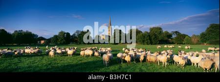 Schafe auf Harnham Auen mit Salisbury Cathedral darüber hinaus, Wiltshire, England, UK - Stockfoto