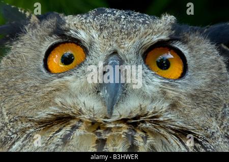 Adler-Eule (Bubo Bubo) eurasisch - Nahaufnahme - Captive - USA - Stockfoto