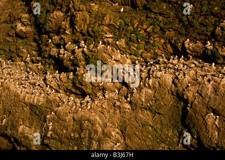 Schwarz-legged Kittiwake Kolonie auf die zerklüftete Küste in Resurrection Bay in der Nähe von Kenai Fjords National - Stockfoto