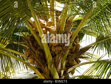 Detailansicht geladen Haufen von golden Kokosnüsse mit Wachstum der Blätter auf einer Palme am tropischen Strandresort - Stockfoto