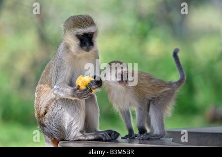 (Grün) Vervet Affen (grüne Pygerythrus) - Stockfoto