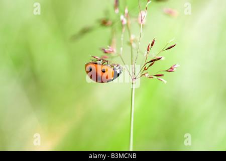 Marienkäfer - Rispe hängen / Coccinella Septempunctata - Stockfoto