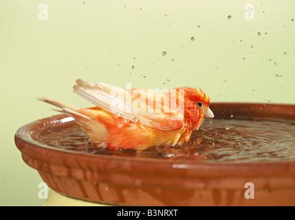 Kanarischen (Serinus Canaria Forma Domestica) Baden in einer Schale - Stockfoto