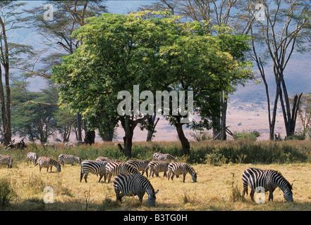 Tansania, Ngorongoro-Krater. Gemeinsamen Zebra durchsuchen auf Rasen im Lerai Forest auf den Kraterboden mit Fieber - Stockfoto