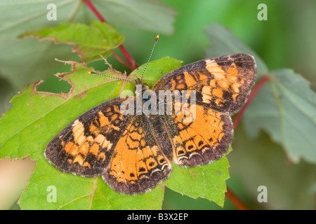 Northern Crescent Phyciodes selenis - Stockfoto