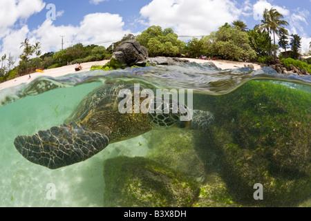 Grüne Schildkröte in Haleiwa Beach Park Chelonia Mydas Oahu Pazifik Hawaii USA - Stockfoto