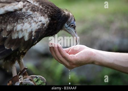 Schmutzgeier (Neophron Percnopterus) trinken aus Menschenhand - Stockfoto