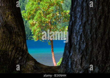 Madrone Baum gerahmt Lake Crescent Olympic Nationalpark Washington - Stockfoto