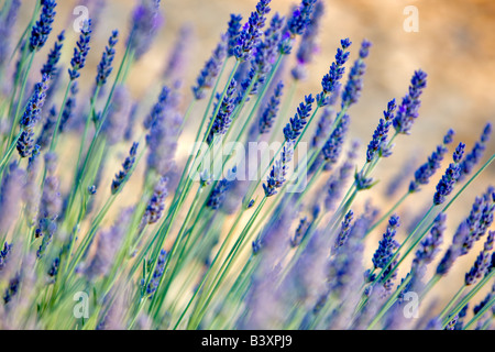 lavendel pflanze stockfoto bild 168879215 alamy. Black Bedroom Furniture Sets. Home Design Ideas