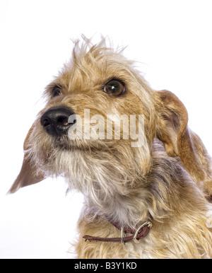 Entzückende Mischling Hund isoliert auf weißem Hintergrund - Stockfoto