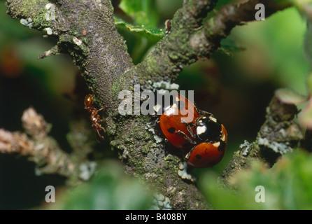 Zoologie / Tiere, Insekten, Käfer, Marienkäfer, Sevenspot Marienkäfer, (Coccinella Septempunctata), Paarung auf - Stockfoto
