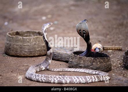 Zoologie / Tiere, Reptilien, Schlangen, indische Kobra (Naja Naja), zwei Schlangen gefaltet, im Korb, Vertrieb: - Stockfoto