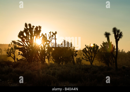 Joshua Tree (Yucca Brevifolia) Silhouette bei Sonnenuntergang im Grand Canyon, Arizona, USA. - Stockfoto