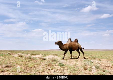 Ein baktrischen Kamel in der Wüste Gobi in der Mongolei - Stockfoto