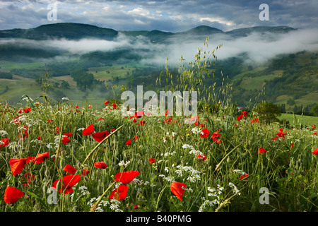 Morgendämmerung in einem Mohnfeld in der Valnerina in der Nähe von Preci, Umbrien, Italien - Stockfoto