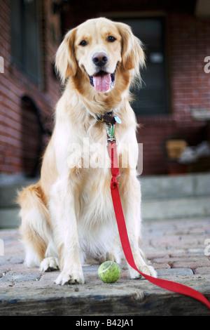 Ein golden Retriever Hund sitzt auf einem Wohn Bürgersteig in die Kamera Lächeln. - Stockfoto
