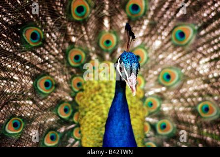Zoologie / Tiere, Vogelgrippe / Vögel, indischen Pfauen (Pavo Cristatus), Pfau Anzeige Gefieder, teilweise gedreht, - Stockfoto