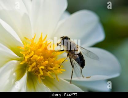 Schwebfliege auf Blume - Stockfoto