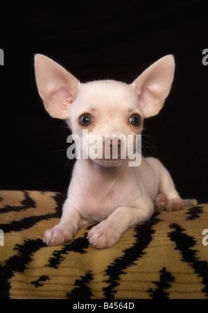 Niedliche cremefarben Kurzhaar Chihuahua-Welpe liegend auf Tiger abgestreift Kissen schwarzen Hintergrund - Stockfoto