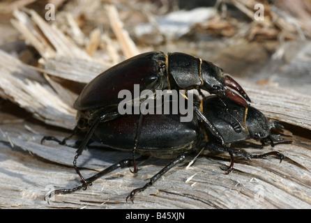Zoologie/Tiere, Insekten, Käfer, Hirschkäfer (Lucanus cervus), Paarung, Nahaufnahme, Verbreitung: Europa, Kleinasien, - Stockfoto