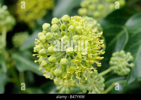 Blütenstand von gemeinsamen Ivy Hedera Helix Nahaufnahme Schuss zeigt offene und geschlossene Blumen Norfolk UK September Stockfoto