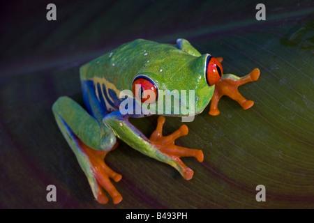 Rotäugigen Baumfrosch (Agalychnis Callidryas) Captive - Südamerika - Stockfoto