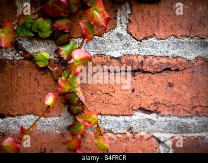 Bunte Efeu festhalten und kriecht auf eine notleidende Mauer Stockfoto