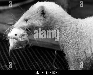 Ein Frettchen heben eine Baby-Maus mit seinen Zähnen 1973, die die Maus durch das Frettchen nach ein Kind angenommen - Stockfoto