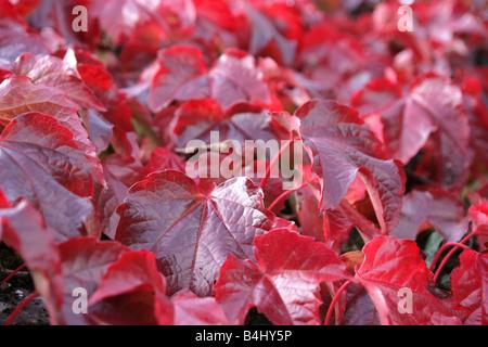 """""""Autumn leaves: wildem Wein (Parthenocissus Quinquefolia)"""" - Stockfoto"""