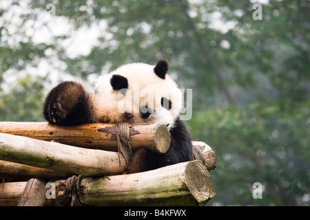 Ein großer Panda (Ailuropoda Melanoleuca) zum Entspannen in der Chengdu Panda Breeding und Forschungszentrum-China - Stockfoto