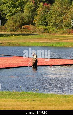 Ein Mann, der arbeitet in Cranberry Bog feucht Ernte rote, reife Beeren, die durch einen Boom in Neuengland im Herbst - Stockfoto