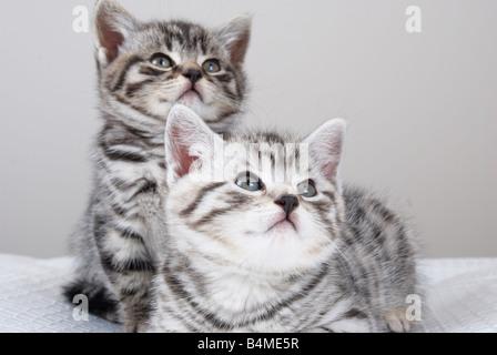 2 Kätzchen nachschlagen (Britisch Kurzhaar) - Stockfoto