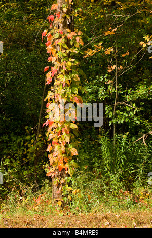Ein Poison Ivy Vine wendet sich leuchtend rot ein New England Herbst in West Newbury, Massachusetts - Stockfoto