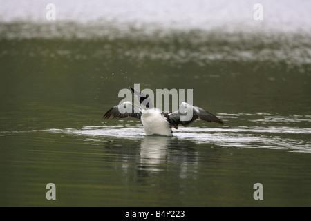 Gemeinsamen Loon, Gavia Immer Uporight sitzen, wie es beginnt, seine Federn in einem See in Manitoba Kanada schütteln - Stockfoto